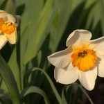 A Host Of Daffodils……And A Violet