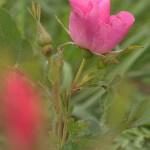 Prairie Wild Rose
