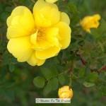 Harison's Yellow Rose