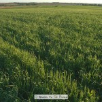 Winter Wheat Update- May 17