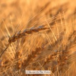 The Wheat Is Ready To Harvest