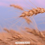 The Last Of The Wheat Harvest