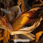 Field Corn- Ready For Harvest