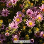 Aromatic Aster…and Kitty