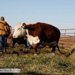 Cattle Round Up – Part 2