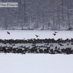 Canada Geese On A Frozen Lake