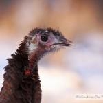 Turkeys In The Snow