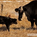 A Calf's First Day