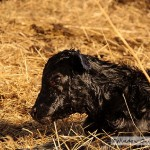 Cow Giving Birth To A Calf