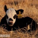 A Calf Visit