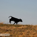 Pasture Hooligans