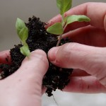 Transplanting Vegetable Plants