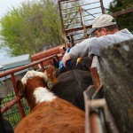 Working Cattle In The Spring