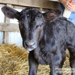 Bottle Calf