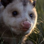 Opossum In Our Yard