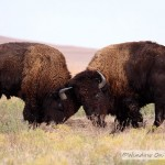 Bison Herd In The Fall