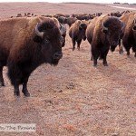 Bison Herd Video