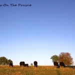 Cattle Therapy