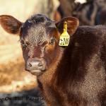 Sparkling Clean Calf