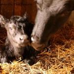 Mabelle's Calf