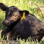 Cleo's Newborn Calf