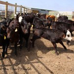 Spring Cattle Move