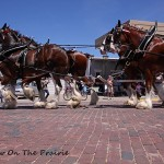 Clydesdales On Parade