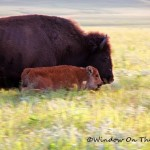 Summer Bison Video