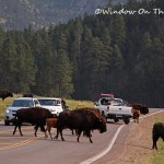 Bison Herd At Custer State Park