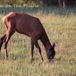 Elk Video – Boxley Valley