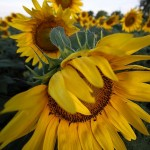 Grinter's Sunflower Farm
