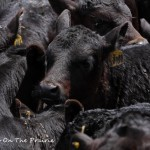 Spring Cattle Move – Part 2
