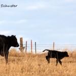 First Calf 2014