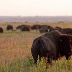Bison At Prairie State Park