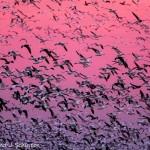 Snow Geese Flock